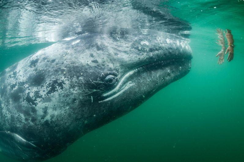 Серый кит подплыл к туристам в Мексике.