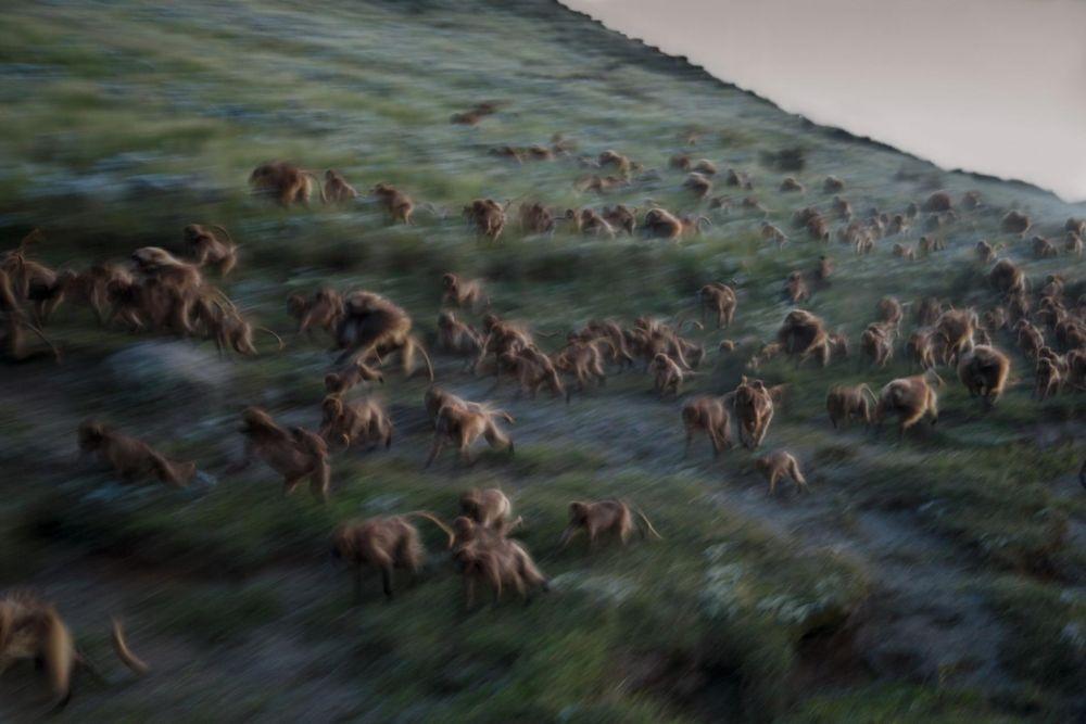 Стая обезьян, прорывающаяся к холмам перед наступлением ночи.