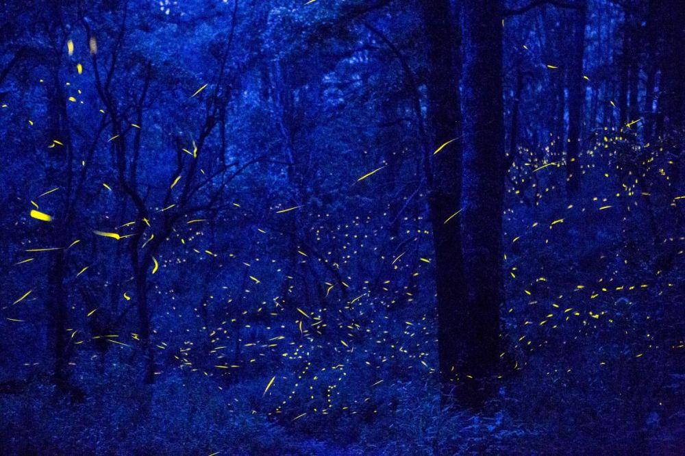 Светлячки летают в заповедном лесу возле города Санта-Клара (Калифорния, США).