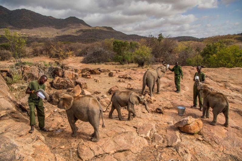 Кормление слонят-сирот в приюте в северной Кении.
