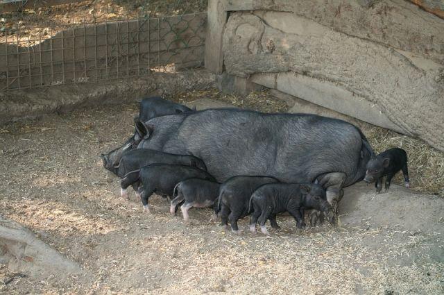Якушев снял карантин поафриканской чуме свиней