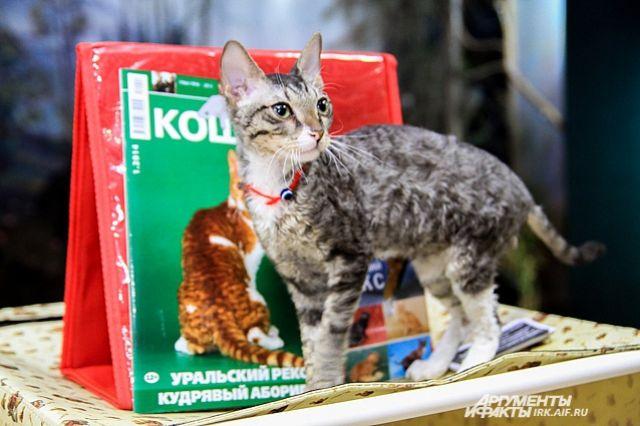 Котят редких и традиционных пород покажут в Иркутске.