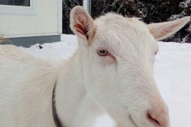 Тюменец после застолья украл у своих знакомых козу
