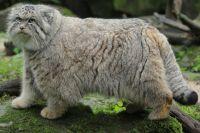 впервые обнаружил и описал кота-манула Петер Паллас