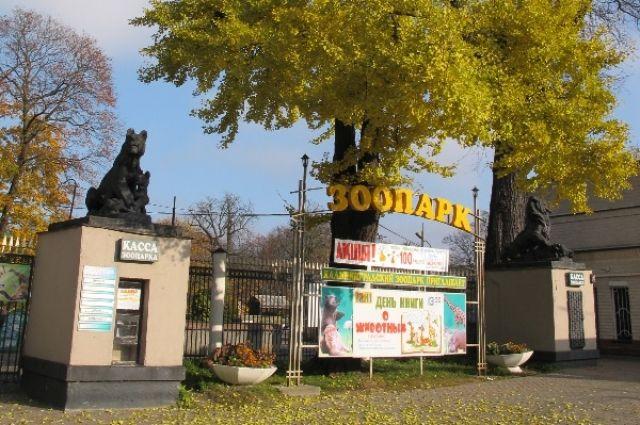 У входа в калининградский зоопарк спиливают столетний дуб.