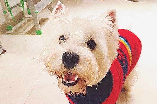 Тюменцы разыскивают пропавшую белую собачку, желая получить 30 тысяч рублей