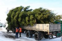 Живых елок тюменцам хватит
