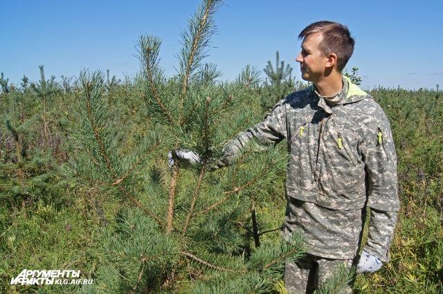 На Куршской косе начали осматривать машины и искать срубленные елки.