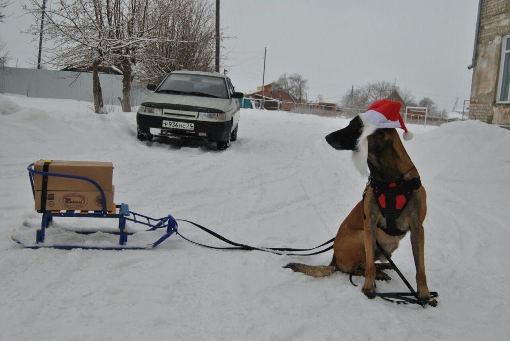 11. Елена Потоскуева. Овчарка породы малинуа - серьёзный служебный пёс. Ответственно на все дела идёт, не жалея нос. В душе-то Викентий добрее добра,  и счастлив под Новый год,  когда подарков растёт гора, и он в Детский дом их везёт. Его встречают, его там ждут, и трогают влажный нос. И ждёт с нетерпением этих минут серьёзный служебный пёс.
