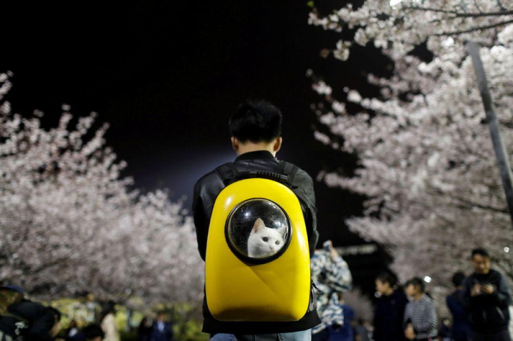 Студент университета Тунцзи в Шанхае несет в рюкзаке свою кошку, Китай. 4 апреля 2017 года.