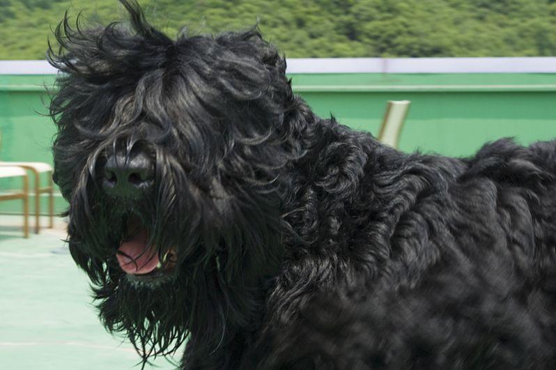 В сентябре 2012 года щенка чёрного русского терьера президент России подарил венесуэльскому лидеру Уго Чавесу. Эту породу иначе называют «собакой Сталина».