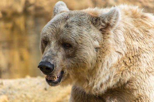 В Тюменской области участились случаи выхода медведей к людям
