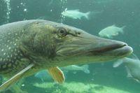 Рыбу пытались провезти в Омск из Казахстана.