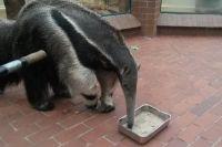 Единственный в РФ гигантский муравьед будет жить в зоопарке Калининграда.