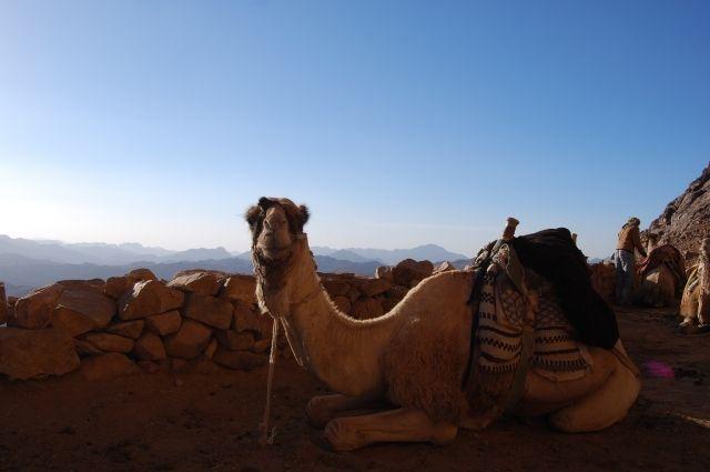 В Арабских эмиратах открыли первую в мире больницу для верблюдов