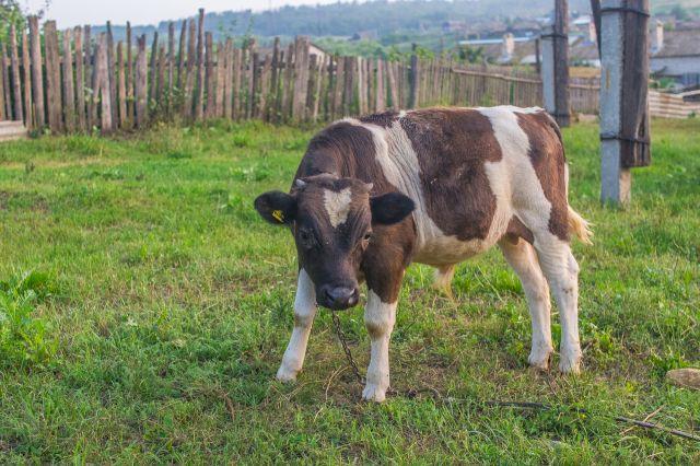 ВЧертковском районе здешним  жителям запретили вывозить мясо