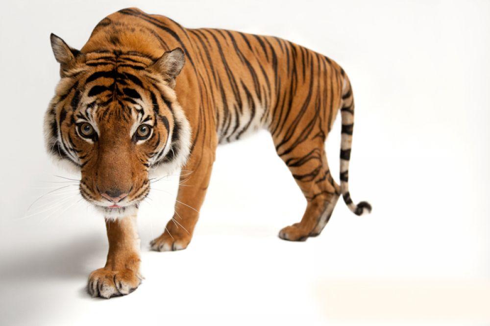 Южно-китайский тигр. Популяция — около 20 особей. Вид попал в десятку животных мира, которым грозит вымирание в ближайшее время.