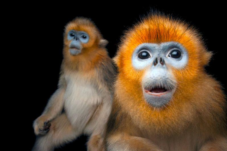 Золотистая курносая обезьяна. Популяция — менее 5000 особей.