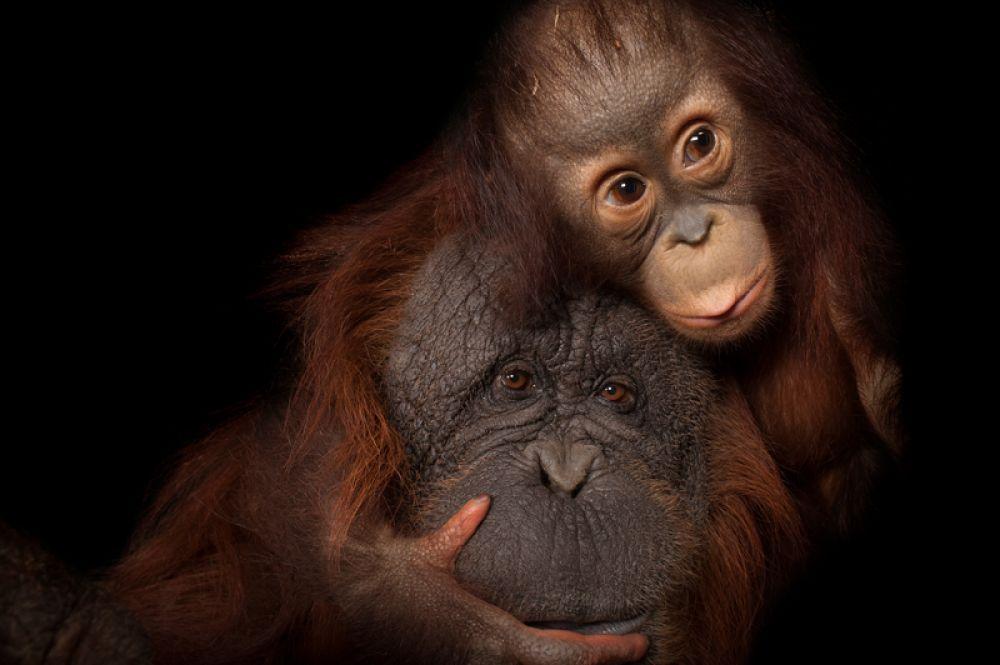 Орангутаны. Популяция — менее 5 тысяч особей.