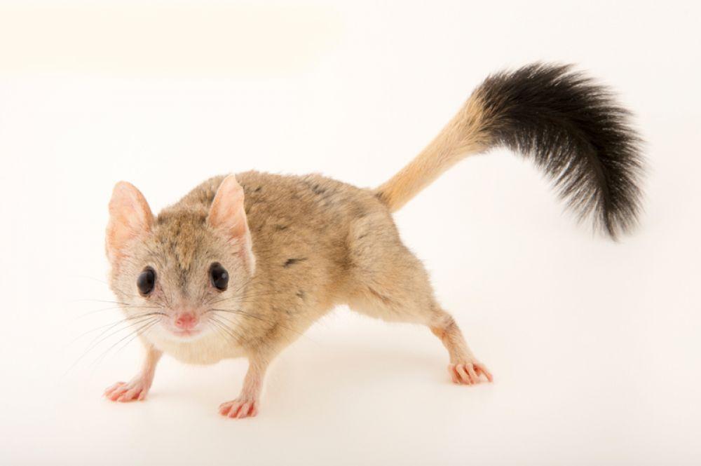 Ковари, или двухгребнехвостая сумчатая мышь. Обитает в Австралии.