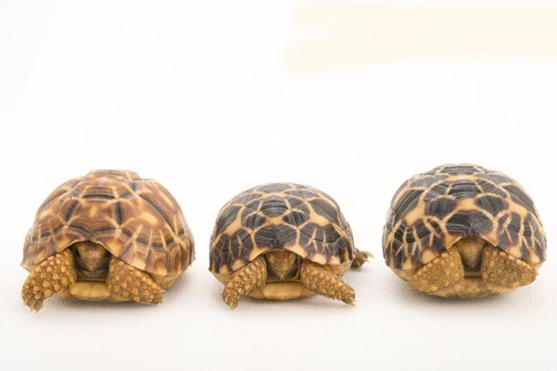 Леопардовые черепахи. Черепашки, изображенные на фотографии, могут уместиться на человеческой ладони.