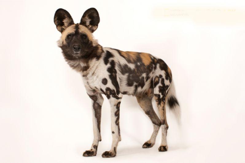 Африканская гиеновидная собака. Популяция — 3000-5500 особей.