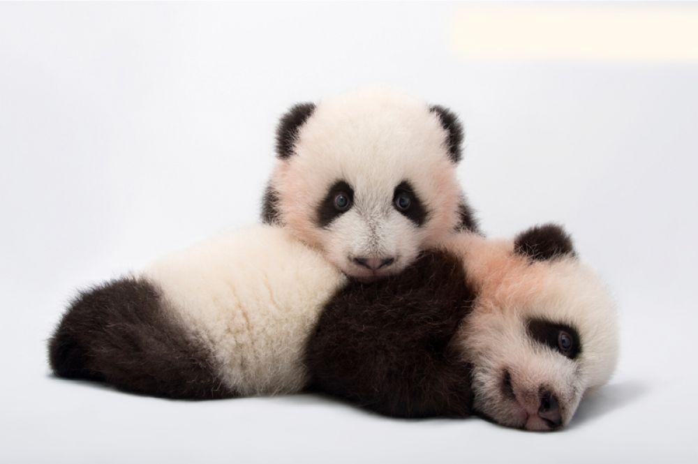 Большие панды. Популяция — около 2060 особей.