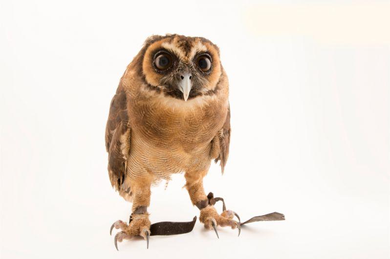 Зондская сова — один из немногих видов сов, который хорошо уживается с человеком. Тем не менее, даже он пока находятся под охраной.