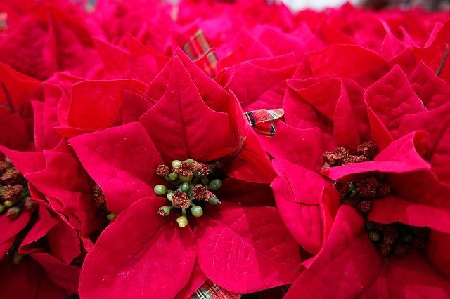 К новогодним праздникам в Калининграде вырастили более 80 тысяч цветов.