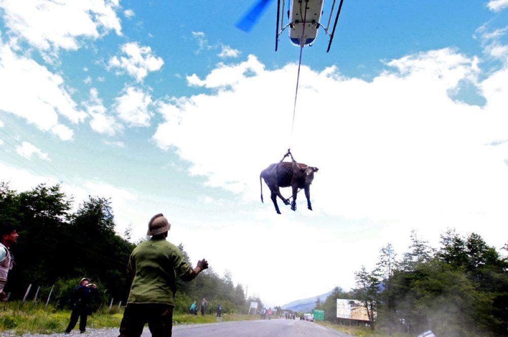 Вертолет транспортирует корову из деревни Вилла Санта Лючия после оползня, Чили. 18 декабря 2017 года.
