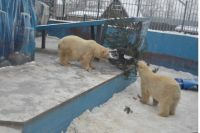 Молодые медведи активно «наряжают» ёлку.