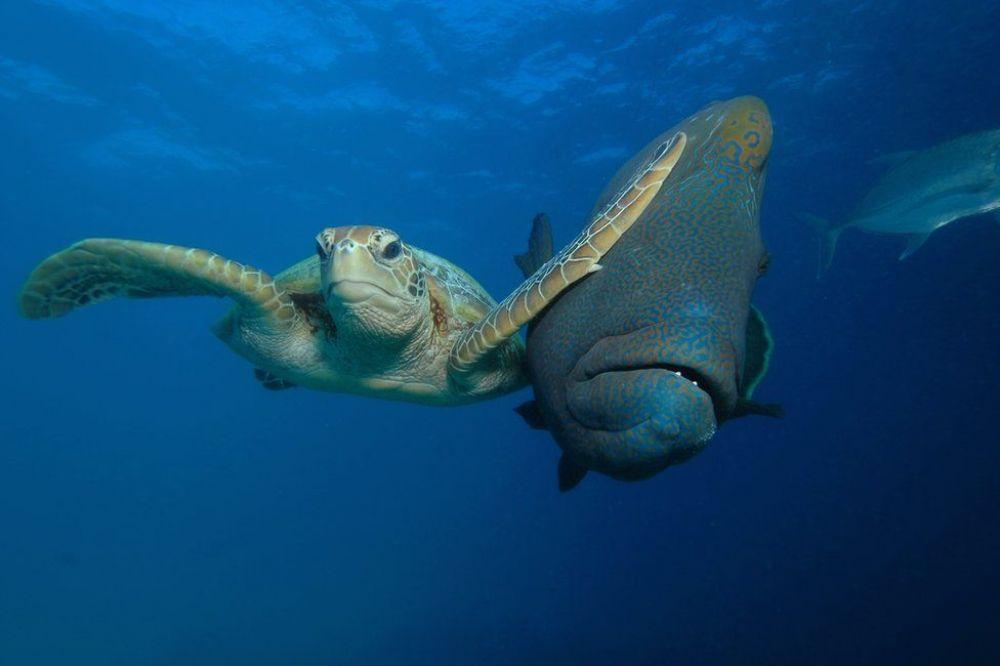 В категории Под водой лучшим оказался снимок недовольной черепахи, отталкивающей рыбу. Автор фото - австралиец Трой Мэйн.
