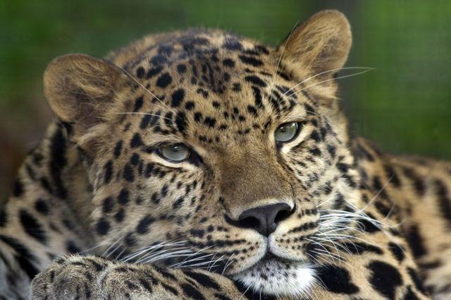Нежданная  встреча. В РФ  редкостный  леопард вышел к любителям автомобилей