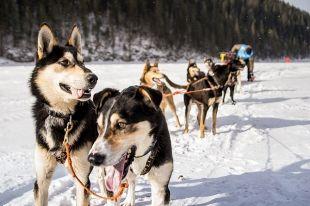 Байкальские псы мало похожи на представителей породы сибирской хаски. И в этом их преимущество.