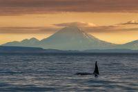 «Косатка и вулкан». Фото:  Андрей Грачев.