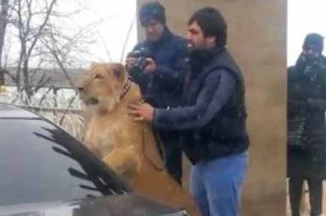 Мужчина выгуливал льва вцентре Махачкалы