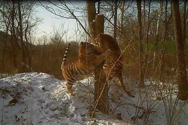 Кадр из видеоролика наглядно показывает как сильно выросли приморские тигрята.