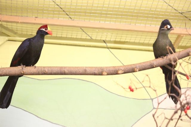 Вворонежском зоопарке поселился синехохлый турако