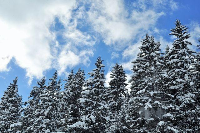 ВКузбассе милиция пресекла преступную вырубку хвойных деревьев