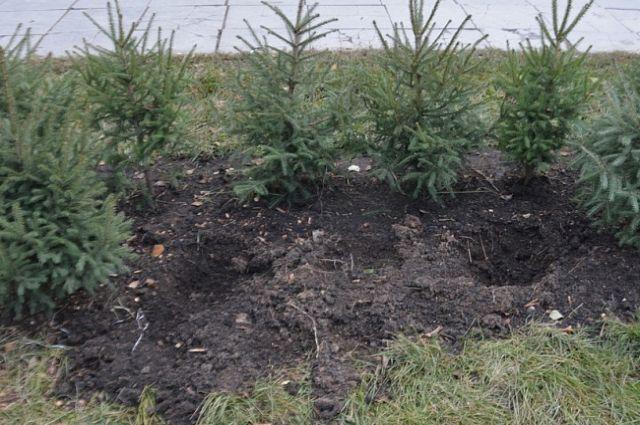 Бездомный планировал заработать на продаже похищенных деревьев