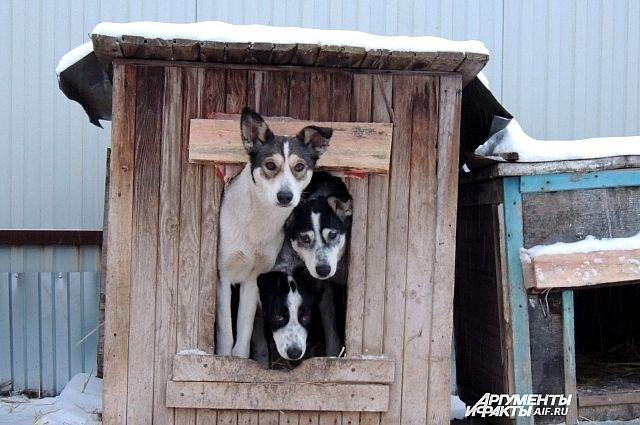 150-170 литров каши нужно готовить каждый день, чтобы прокормить собак.