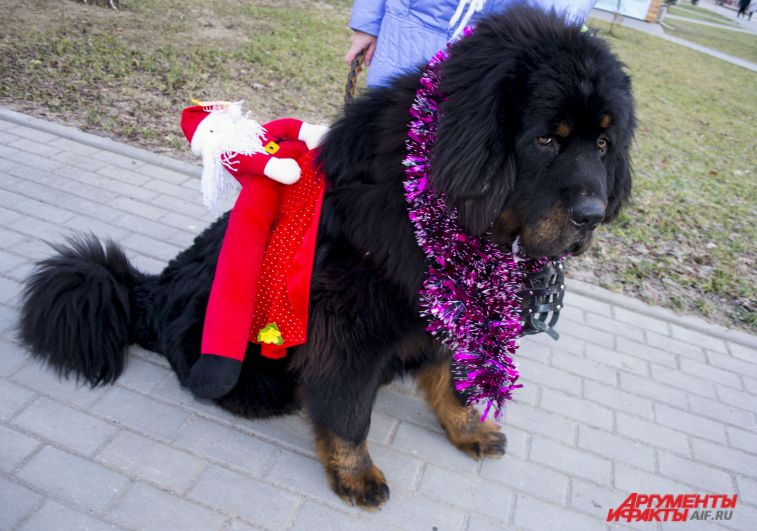 Тибетский мастиф Балу, костюм «Новогоднее чудо».