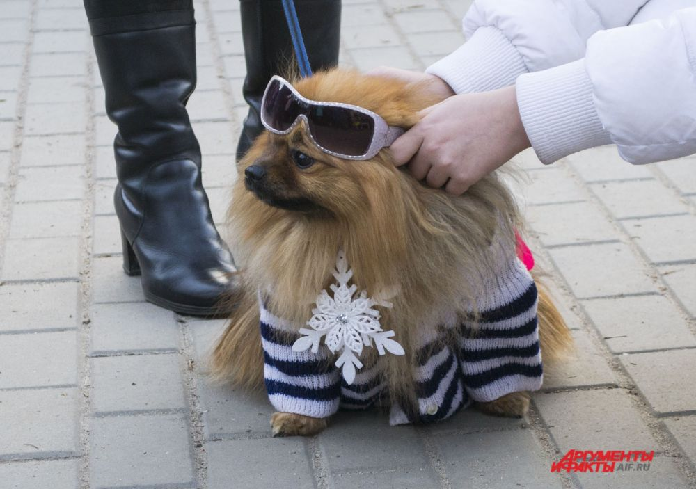 Шпиц в новогоднем костюме.