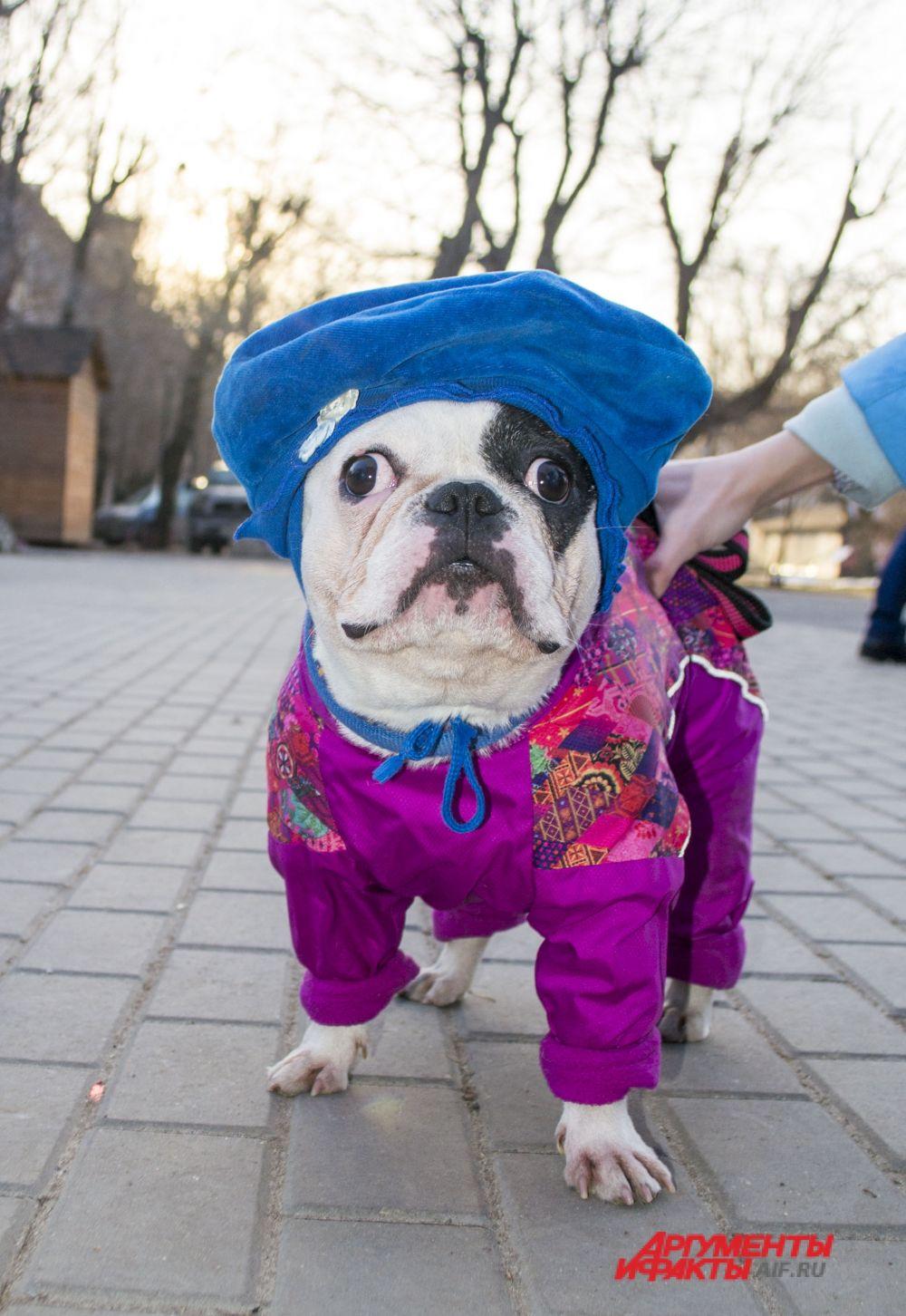 Французский бульдог Тина, костюм «Слава Женскому ВДВ».
