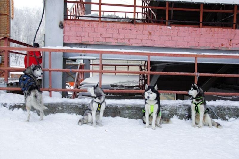 С самого утра началась регистрация участников. Сибирские хаски, якутские лайки и аляскинские маламуты – все собрались также и на ветеринарный осмотр перед забегом.
