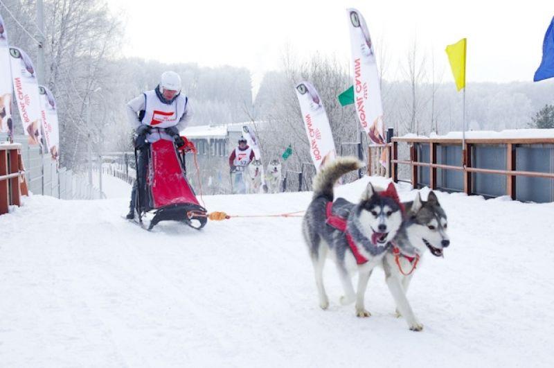 В спортивных упряжках может быть от двух до восьми собак.