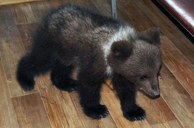 В коммерческом центре Кургана выгуливали медвежонка