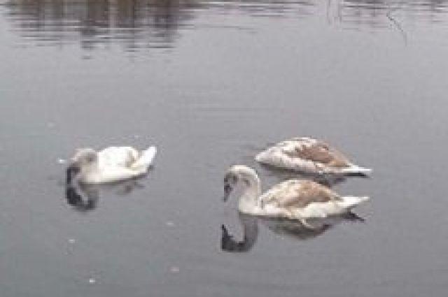 ВСтародубском районе лебеди неулетели назимовку