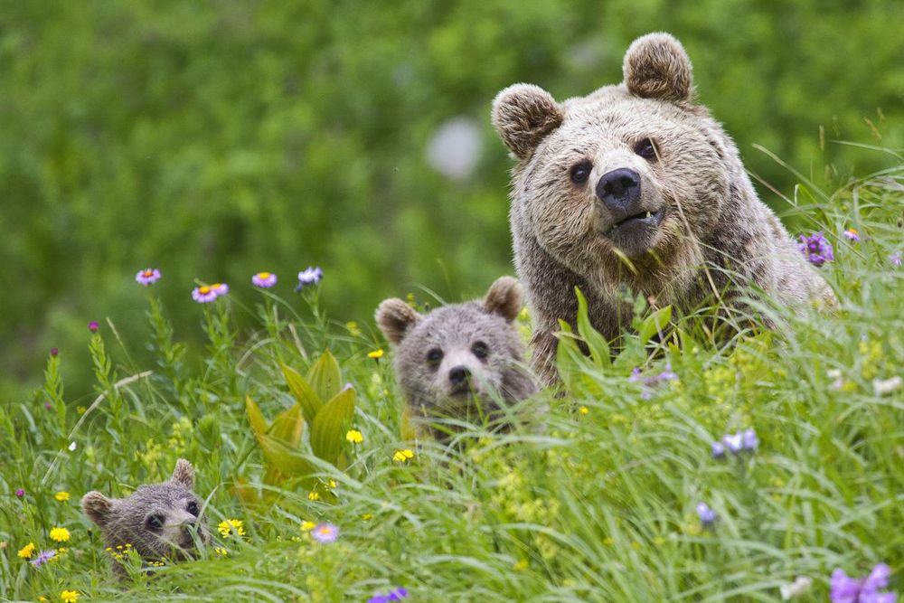 Бурые медведи.
