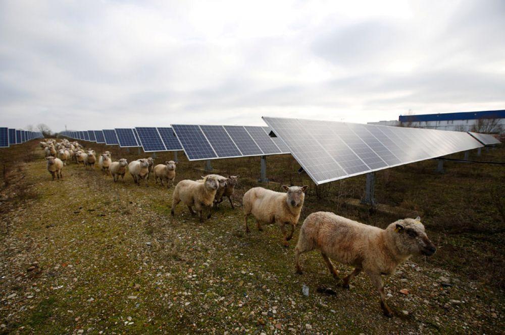 Овцы на солнечной электростанции в Алоне в округе Ле-Ман, Франция. 8 января 2018 года.